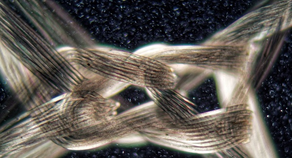 Nylon fibers under the microscope and in polarized light.